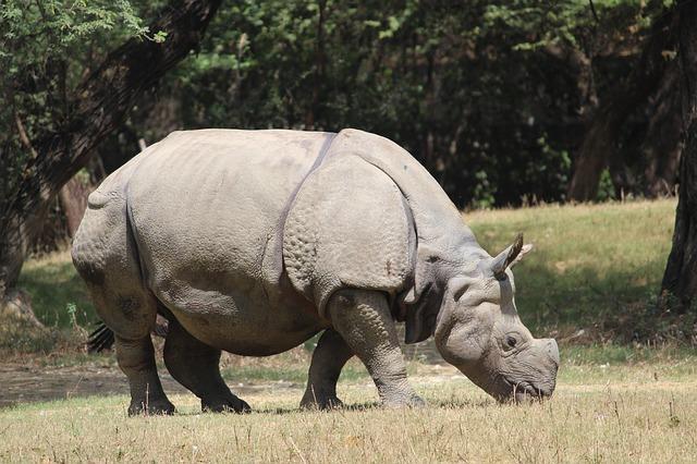 nosorożec przy posiłku